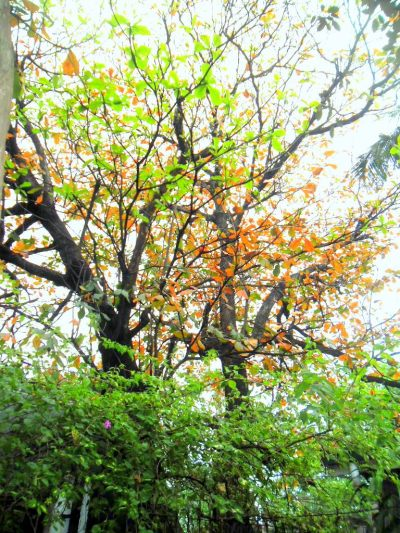 Talisay tree shedding