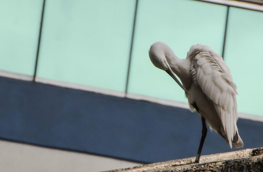 egret in the city