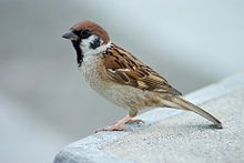 220px-Tree_Sparrow_Japan_Flip